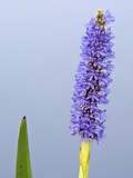 Pickerelweed Flower (Pontederia Cordata)  Florida  USA