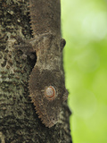 Henkel's Leaf-Tailed Gecko Head (Uroplatus Henkeli)  Ankarana National Park  Northern Madagascar