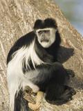 Black and White Colobus Monkey (Colobus Guereza) Perched in a Tree  Masai Mara  Kenya