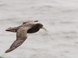 Southern Giant Petrel in Flight (Macronectes Giganteus)  Falkland Islands