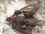 Queen Desert Leafcutter Ant Falls Surrounded by Multiple Males Attempting to Mate with Her