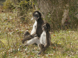 White-Bellied Spider Monkey (Ateles Belzebuth) Mother and Baby  Captive