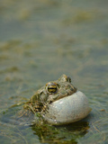 A Male European Green Toad (Bufo Viridis) Vocalizing in a Pond  Europe