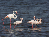 Greater Flamingo  Phoenicopterus Ruber  and Four Lesser Flamingos