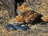 Black-Breasted Buzzard (Hamirostra Melanosternon) Drinking from Emu Egg