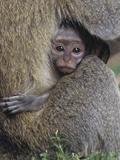 Vervet Monkeys  Cercopithecus Aethiops  Uganda