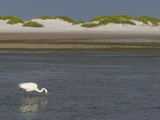 Great Egret Hunting in a Lagoon Behind Coastal Sand Dunes  Ardea Alba  Fort Desoto Park  Florida