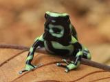 Green and Black Poison Frog (Dendrobates Auratus)  Corcovado National Park  Costa Rica