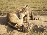 Spotted Hyena at Den Opening with Young (Crocuta Crocuta)  Serengeti National Park  Tanzania