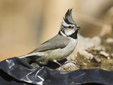 Bridled Titmouse (Baeolophus Wollweberi) Drinking at a Man-Made Pond  USA