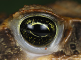 Eye of the Marine Toad or Cane Toad (Bufo Marinus)