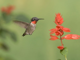 Male Ruby-Throated Hummingbird (Archilochus Colubris) at Salvia