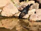 Brown-Headed Cowbird Drinking from a Waterhole (Molothrus Ater)  Arizona  USA