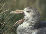 Giant Petrel Head Showing its Bill and Tongue  Macronectes Giganteus  Hercules Bay  South Georgia