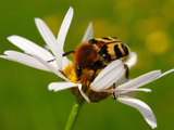 Bee Beetle (Trichus Fasciatus) on a Corn Camomile Flower (Anthemis Arvensis)  Estonia