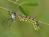 Owl Moth Fifth Instar Just Metamorphosed (Brahmaea Hearseyi)  China
