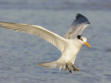 Royal Tern in Winter Plumage Landing  Sterna Maxima  Southern USA