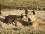 Spotted Hyena in Den with Young (Crocuta Crocuta)  Serengeti National Park  Tanzania