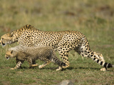 Adult Cheetah (Acinonyx Jubatus) with Young in Stalking Posture  Masai Mara  Kenya