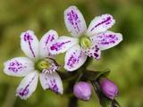 Orchid Flowers  Puracâ» National Park  Department Cauca  Colombia