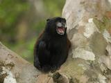 Saddleback Tamarin (Saguinus Fuscicollis)  Pacaya-Samiria National Park  Peru