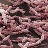 Bacillus Subtilis is a Rod Shaped  Gram-Positive Bacteria  SEM