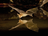 Pallid Bat (Antrozous Pallidus) Swooping over a Small Pond to Drink While Flying  Arizona  USA