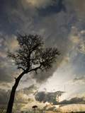 Acacia Tree at Sunset in the Masai Mara Game Reserve  Kenya