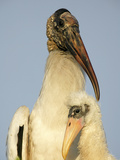 Wood Stork Adult with Chick (Mycteria Americana)  Florida  USA