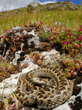 Meadow Viper (Vipera Ursinii) Basking in its Typical Habitat  Italy