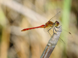 Male Ruddy Darter Dragonfly (Sympetrum Sanguineum)  Italy
