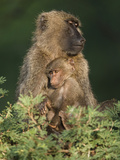 Olive Baboon (Papio Anubis) with Young in the Masai Mara Game Reserve  Kenya