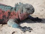 Galapagos Marine Iguana (Amblyrhynchus Cristatus Venustissimus)  Espanola Island  Galapagos