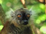 Female Black Lemur Face (Eulemur Macaco Macaco) Lokobe Nature Special Reserve  Northern Madagascar