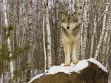 Gray Wolf (Canis Lupus) on Rocks  Northern Minnesota  USA