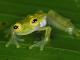 Male Fleischmann&#39;s Glass Frog (Hyalinobatrachium Fleischmanni)  San Cipriano Reserve  Cauca