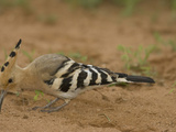 African Hoopoe Foraging for Food with its Long Bill  Upupa Epops  Kenya  Africa