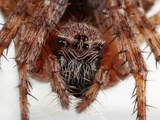 Barn Spider (Araneus Cavaticus) Facial Close Up