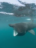 Basking Shark (Cetorhinus Maximus) with its Open Mouth Feeding on Plankton