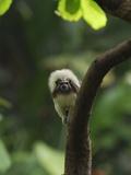 Cottontop Tamarin (Saguinus Oedipus)  Colombia