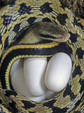 Taiwan Beauty Snake Female (Elaphe Taeniurus) with Eggs