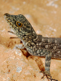 Gecko (Pristurus Insignoides)  Socotra Island  Yemen