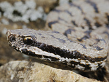 Asp Viper (Vipera Aspis)  Italy