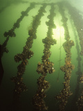 Mussels Growing on Ropes in Sea Loch Filter Feed from the Water