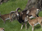 Mouflon (Ovis Musimon) Adult and Young  Europe