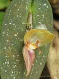 Orchid Flower (Pleurothalis)  Department Putumayo  Colombia