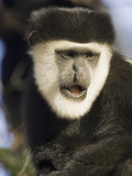 Black and White Colobus Monkey (Colobus Guereza) Face  Masai Mara  Kenya