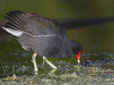 Common Moorhen or Gallinule (Gallinula Chloropus)