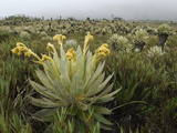 Frailejon Plants in the High Altitude Grasslands (Espeletia)