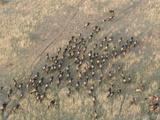 Wildebeest or Gnu Herd in Migration across the Savanna  Connochaetes Taurinus  Maasai Mara  Kenya